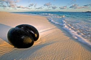 кокос на сейшелах