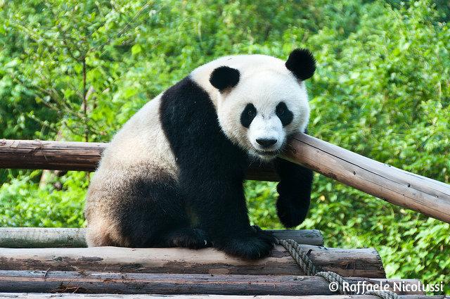 Китай_панда