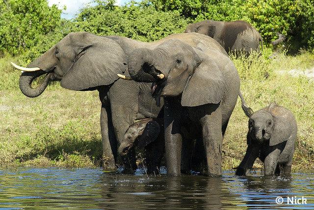 Ботсвана_слоны