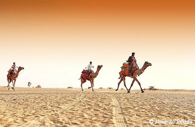 верблюды раджастана