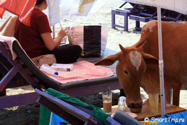 Гоа_корова