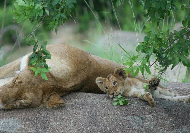 король и лев